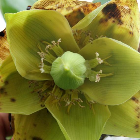 Bemba banán