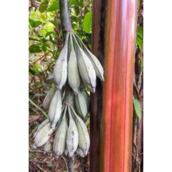 Häkkinen banánja