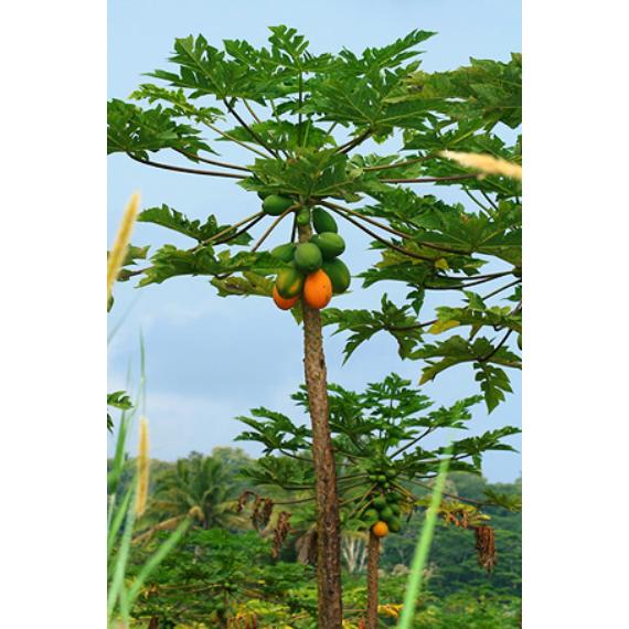 Önbeporzó papaya, Dinnyefa