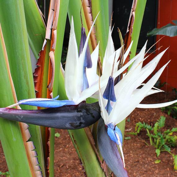 Kék papagájvirág