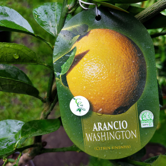 Termő narancs