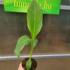 Kép 2/3 - Bemba banán