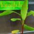 Kép 2/4 - Häkkinen banánja