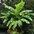 Kép 1/4 - Orosz fagytűrő banán