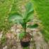 Kép 2/4 - Orosz fagytűrő banán