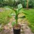 Kép 3/4 - Orosz fagytűrő banán