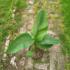 Kép 4/4 - Orosz fagytűrő banán