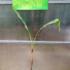 Kép 3/3 - Thaiföldi fekete törzsű banán