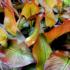 Kép 2/7 - Vörös abesszin banán