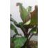 Kép 5/7 - Vörös abesszin banán