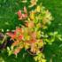 Kép 1/3 - Bíborvörös ausztrál cseresznye