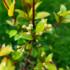 Kép 2/3 - Bíborvörös ausztrál cseresznye