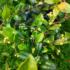 Kép 3/3 - Bíborvörös ausztrál cseresznye
