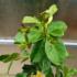 Kép 1/3 - Citrom guáva