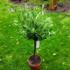 Kép 1/4 - Európai olajfa, Olíva