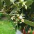 Kép 3/4 - Európai olajfa, Olíva