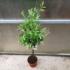 Kép 4/4 - Európai olajfa, Olíva