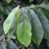 Kép 2/5 - Indián banán, Pawpaw