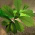 Kép 5/5 - Indián banán, Pawpaw