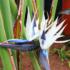 Kép 1/4 - Kék papagájvirág