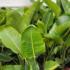 Kép 2/4 - Kék papagájvirág