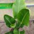 Kép 3/4 - Kék papagájvirág