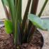 Kép 4/4 - Kék papagájvirág