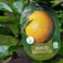 Kép 1/2 - Termő narancs