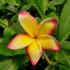 Kép 1/3 - Virágzó, bimbós szivárvány Pluméria (Plumeria rubra 'Khai Yai Rainbow')