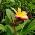 Kép 2/3 - Virágzó, bimbós szivárvány Pluméria