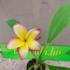 Kép 3/3 - Virágzó, bimbós szivárvány Pluméria