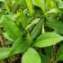 Kép 3/3 - Ceyloni frangipáni
